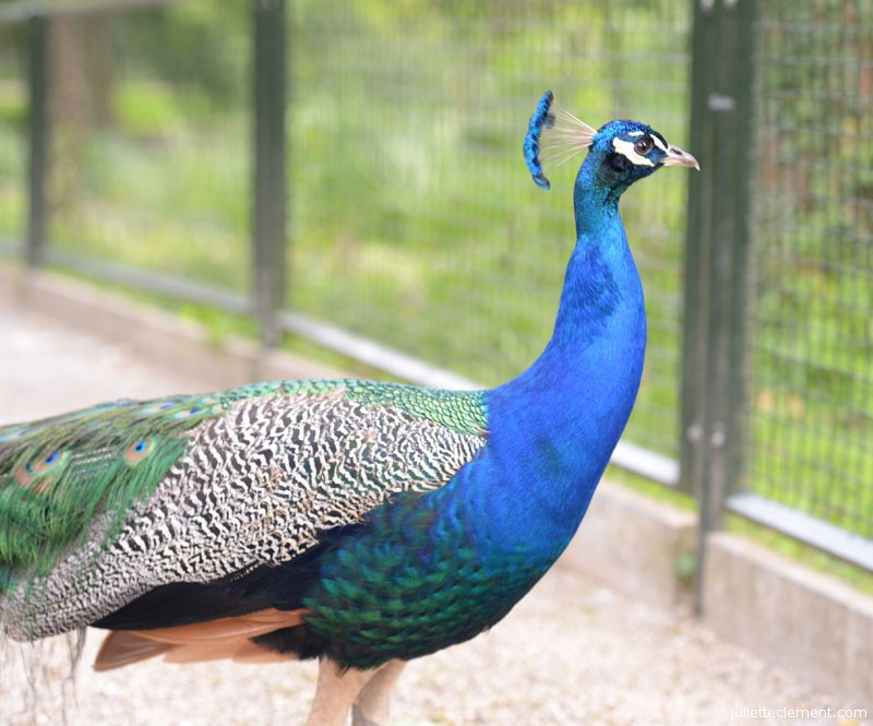 A very smart-looking peacock.